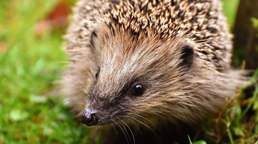 STEM Club - Hedgehogs